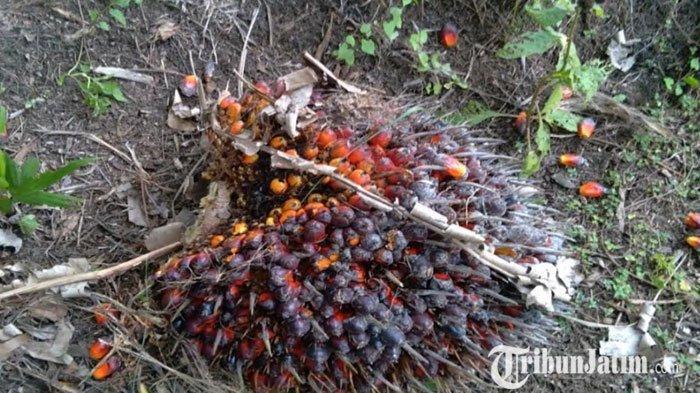 Bappeda: Industrialisasi Perkebunan Sawit di Kabupaten Malang Masih Sebatas Wacana