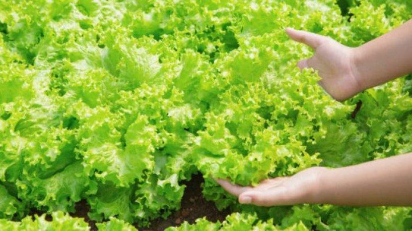 daun-selada-dianggap-menjadi-tanaman-yang-kaya-akan-manfaat.jpg