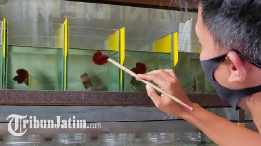 Bisnis Salon Cupang Kota Malang Meroket Saat Pandemi Banyak Pehobi Baru Sehari 150 Ikan Disalon Tribun Jatim