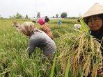 aktivitas-petani-sedang-memanen-padi-di-sawah.jpg