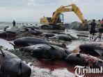 berita-bangkalan-bangkai-ikan-paus-jenis-pilot-whale-diangkat-eskavator-kabupaten-bangkalan.jpg