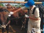 berita-blitar-petugas-mengecek-kondisi-kesehatan-sapi-di-pasar-hewan-dimoro-kota-blitar.jpg