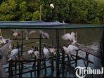 berita-gresik-burung-laut-di-kawasan-mangrove-desa-banyuurip-gresik-rabu-262021.jpg