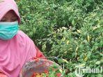 berita-kediri-suyarno-petani-cabai-dusun-luksongo-desa-tugurejo-kecamatan-ngasem-kabupaten-kediri.jpg