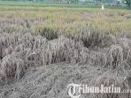 berita-lamongan-kondisi-sawah-di-lamongan-petani-gagal-panen.jpg