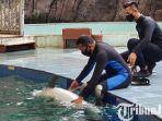 berita-pasuruan-tsp-sukses-breeding-satwa-lumba-lumba-hidung-botol-tursiops-aduncus.jpg