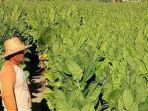berita-surabaya-ilustrasi-kebun-tembakau-di-jawa-timur.jpg