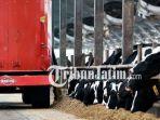 berita-surabaya-peternakan-sapi-susu-di-jakarta-dan-surabaya_20181002_090757.jpg