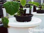 berita-surabaya-tanaman-melon-hidroponik.jpg