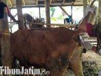 berita-tulungagung-petugas-upt-laboratorium-kesehatan-hewan-malang-mengambil-sampel-darah-sapi.jpg