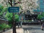 bunga-bunga-putih-pohon-tabebuya-berguguran-di-pinggir-jalan-utama-surabaya.jpg