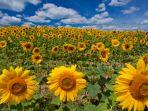 bunga-matahari_20180807_170314.jpg