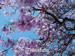 bunga-pohon-jacaranda.jpg