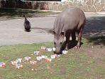 cleopatra-tapir-di-kebun-binatang-limpopo-yang-meramalkan-laga-final-piala-dunia-2018_20180714_223536.jpg
