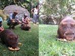 common-wombat-hewan-dari-australia-yang-didatangkan-ke-taman-safari1_20180201_185422.jpg