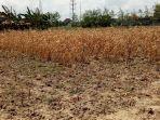 dampak-bencana-kekeringan-tanaman-milik-petani-di-kelurahan.jpg