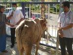 dpd-demokrat-jawa-timur-memberikan-hewan-kurban-pada-takmir-masjid-ilustrasi-hewan-kurban.jpg