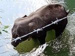 gajah-hamil-tewas-berdiri-di-atas-sungai-karena-diberi-makan-nanas-berisi-petasan.jpg