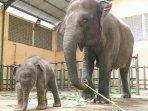 gajah-sumatera-dan-bayi-gajah-di-taman-safari-prigen-pasuruan.jpg