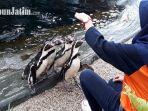 hari-penguin-sedunia-eco-green-park-beri-izin-pengunjung-beri-makan-penguin_20180425_151249.jpg
