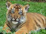 harimau-yang-baru-lahir-saat-bermain-di-tsp.jpg