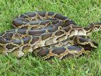 ilustrasi-berita-rumah-pencinta-reptil-kebakaran-puluhan-ular-mahal-tersisa-bangkainya.jpg