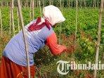 ilustrasi-petani-cabai-di-kabupaten-kediri-memetik-cabai-ilustrasi-harga-cabai-ilustrasi-cabai.jpg