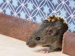ilustrasi-tikus-penyakit-tikus_20171121_144824.jpg