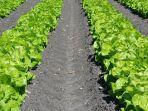 ilustrasi-tutorial-menanam-selada-hijau-dengan-sistem-tanam-hidroponik.jpg