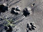 jejak-telapak-kaki-diduga-macan-tutul-yang-ditemukan-petugas-di-pinggiran-danau-ranu-kumbolo.jpg