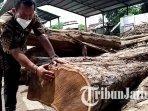 kabid-tata-lingkungan-dlh-kabupaten-tulungagung-makrus-manan-menghitung-usia-pohon-sonokeling.jpg