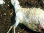 kambing-milik-warga-desa-sempol-ijen-bondowoso-kembali-diserang-oleh-makhluk-misterius.jpg