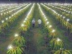 kebuh-buah-naga-di-mojokerto-yang-memanfaatkan-lampu-listrik-pln-untuk-meningkatkan-produktivitas.jpg