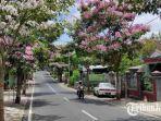 kondisi-bunga-tebebuya-sedang-bermekaran-di-ruas-jl-mojopahit-kota-blitar-rabu-2992021.jpg