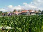 kondisi-tembakau-di-desa-patarongan-kecamatan-torjun-kabupaten-sampang-madura.jpg