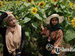 ladang-bunga-matahari-di-desa-pandanrejo-batu.jpg