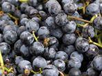 manfaat-anggur-concord.jpg