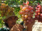 miqbal-penggagas-budidaya-anggur-hingga-menjelma-menjadi-wisata-kampung.jpg