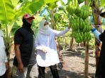 para-petani-holtikultura-di-banyuwangi-selatan-mulai-melirik-komoditas-pisang-cavendish.jpg