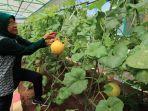 pemkot-surabaya-panen-raya-sayur-dan-buah-di-mini-agrowisata.jpg