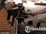 pengunjung-memberi-makan-monyet-di-wisata-ketekan-ngujang-tulungagung.jpg