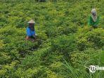 pertanian-cabai-rawit-di-desa-cinandang.jpg