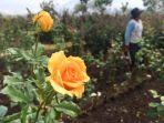 pertanian-mawar-di-desa-gunungsari-kota-batu_20180909_091049.jpg