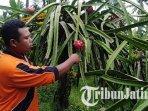 petani-buah-naga-di-desa-palaan-kecamatan-ngajum-kabupaten-malang-ilustrasi-petani-buah-naga.jpg