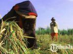 petani-di-jombang-panen-padi-lebih-awal.jpg