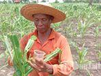 petani-jagung-pamekasan-rugi-besar.jpg