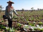petani-menanam-bibit-tembakau-di-desa-gedungan-kecamatan-batuan-sumenep-ilustrasi-tembakau.jpg