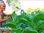 petani-tembakau-di-pamekasan-madura-saat-mengecek-tanaman-tembakaunya-di-sawah.jpg