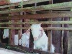 peternakan-kambing-di-ampel-gading-kabupaten-malang-ilustrasi-kambing-ilustrasi-hewan-qurban.jpg