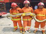 petugas-berhasil-mengevakuasi-ular-piton-yang-memangsa-kucing-di-desa-samir.jpg